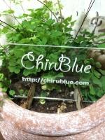 chirubluegreen.jpg