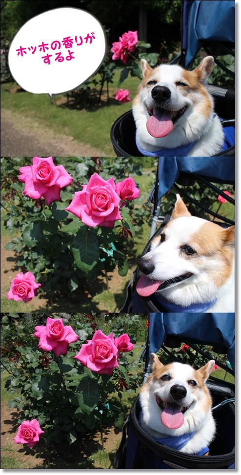 バラとマロ