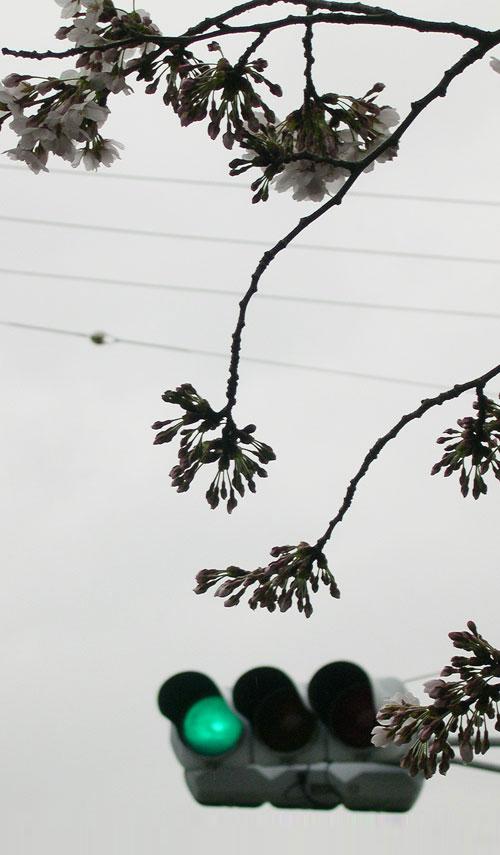 信号と桜1