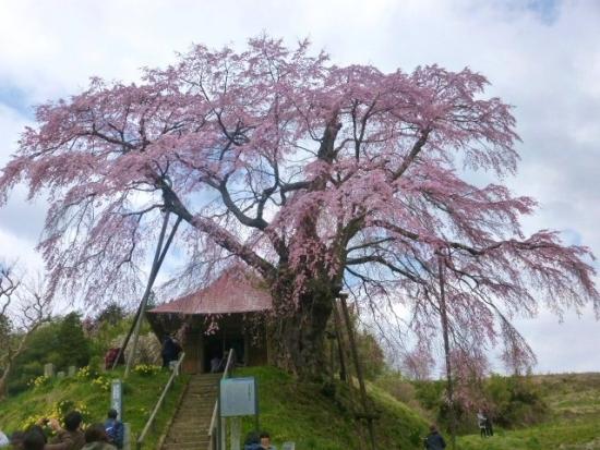 11上石の不動桜 (16)