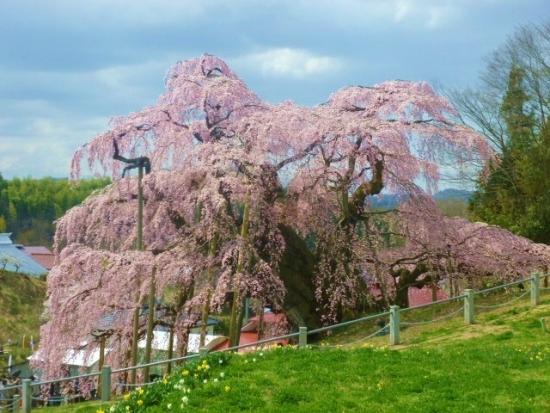 11三春滝桜 (30)