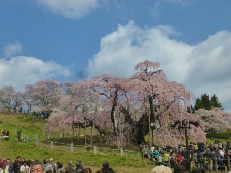 三春滝桜 (4)