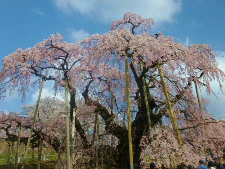 三春滝桜 (8)
