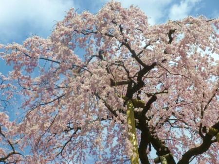 三春滝桜 (11)