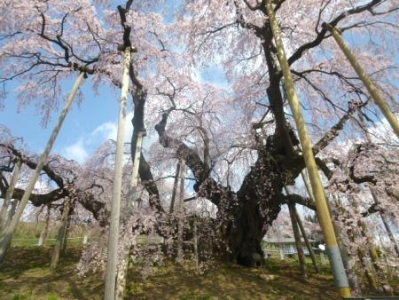 三春滝桜 (12)
