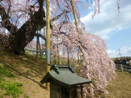 三春滝桜 (17)