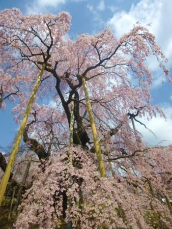 三春滝桜 (19)