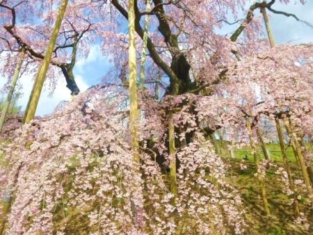 三春滝桜 (22)