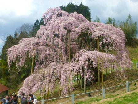 三春滝桜 (26)