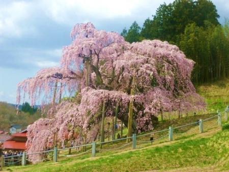 三春滝桜 (28)