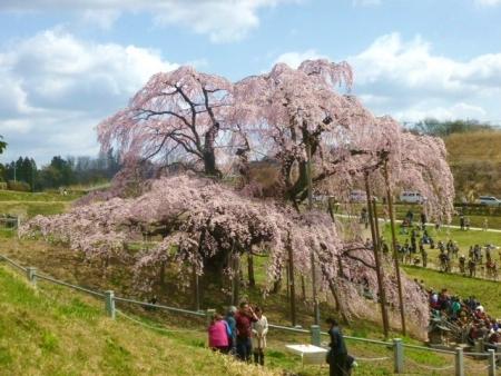 三春滝桜 (35)