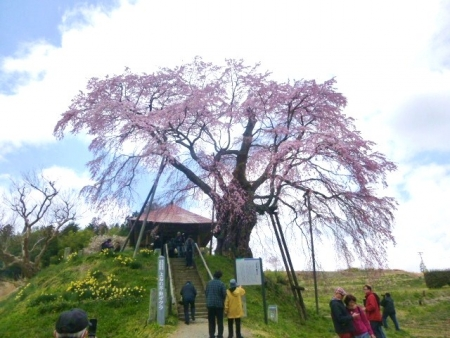上石の不動桜 (3)