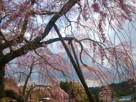 上石の不動桜 (9)