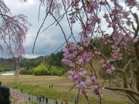 上石の不動桜 (11)