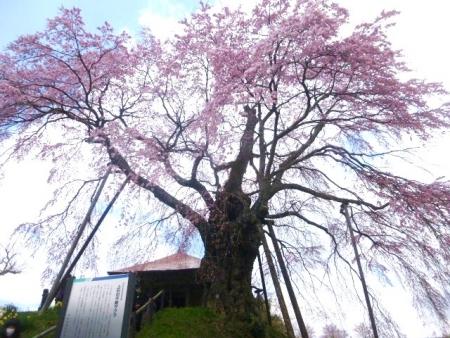 上石の不動桜 (12)