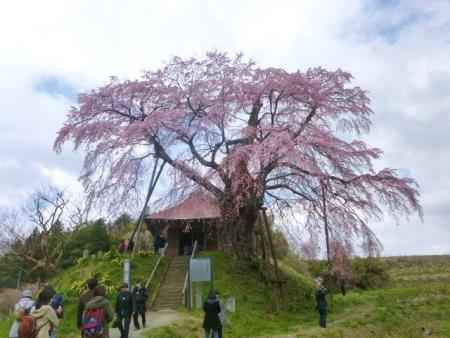 上石の不動桜 (15)