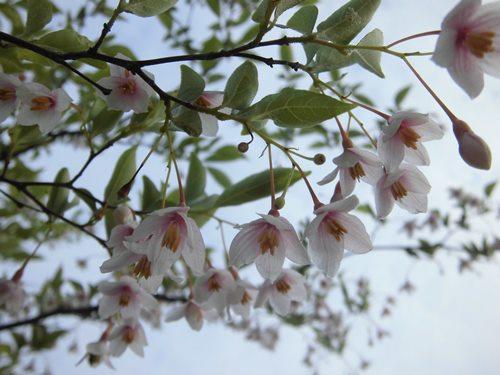エゴノキ(赤花)