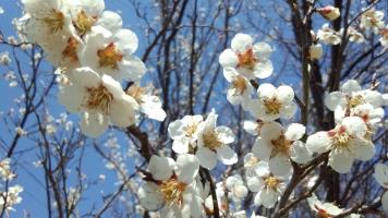 梅と枝垂桜 (2)