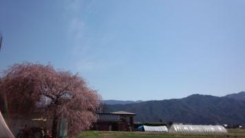 梅と枝垂桜 (4)