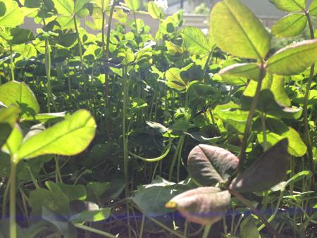 clover1405swb.jpg