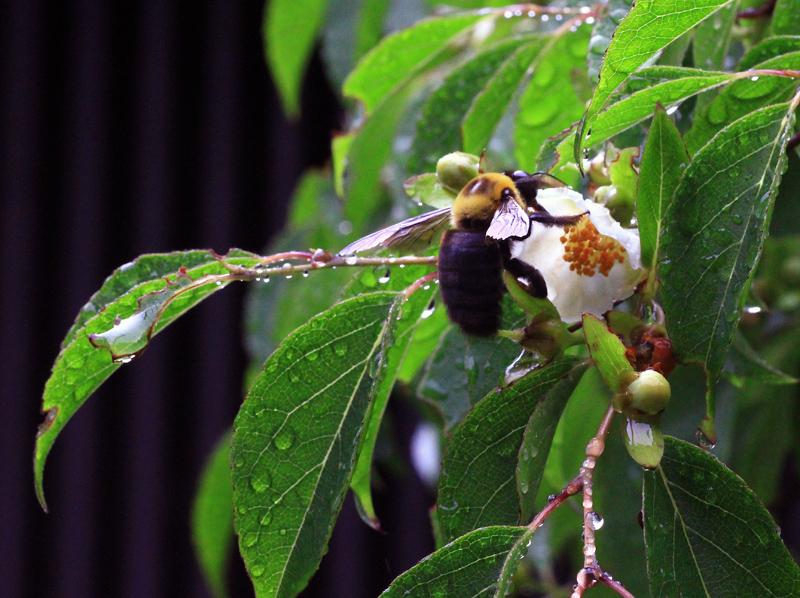 クマバチ1