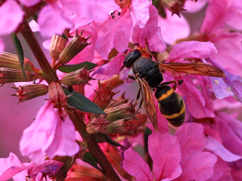 ミソハギと蜂