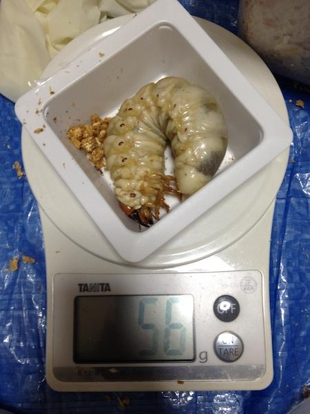 パラワン体重