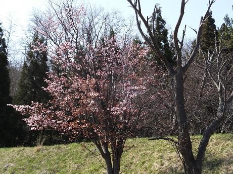 3日の桜1