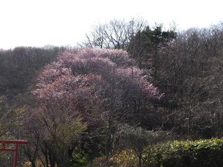 3日の桜2