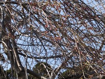3日の桜3
