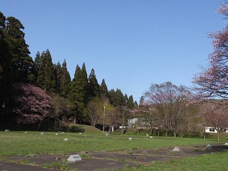 3日の桜4