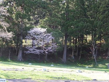 3日の桜5