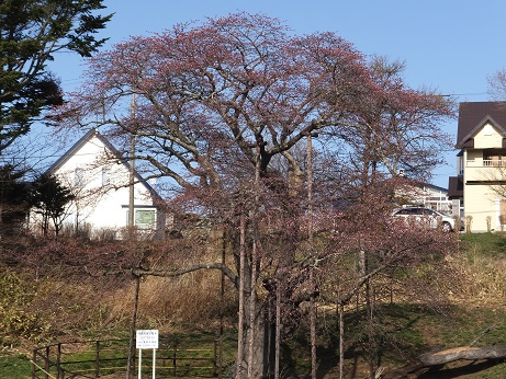 3日の大桜1