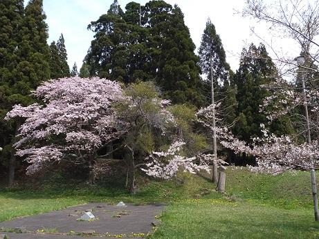 5月5日の桜1