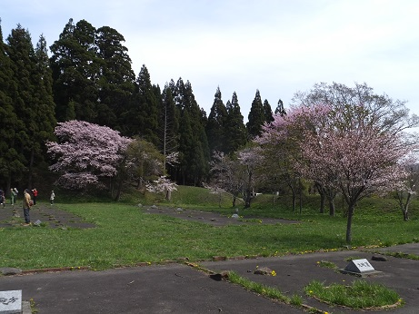 5月5日の桜2