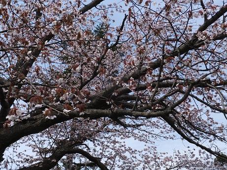 5月5日の桜3