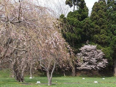 5月5日の桜4