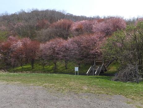 2入江の桜1
