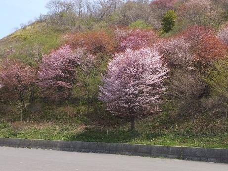 4入江の桜2
