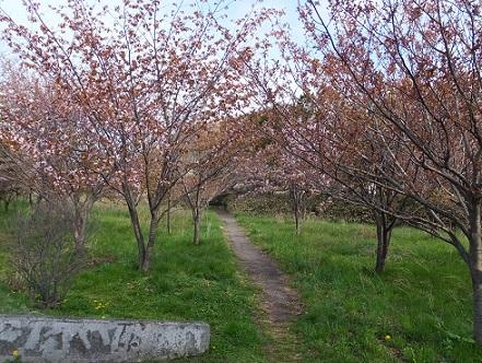 祝津桜並木8