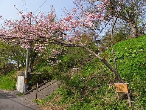 1塩竈桜1