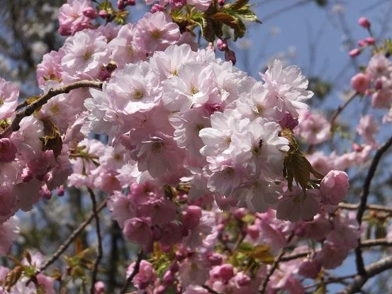 2塩竈桜2