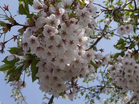 3桜アップ1