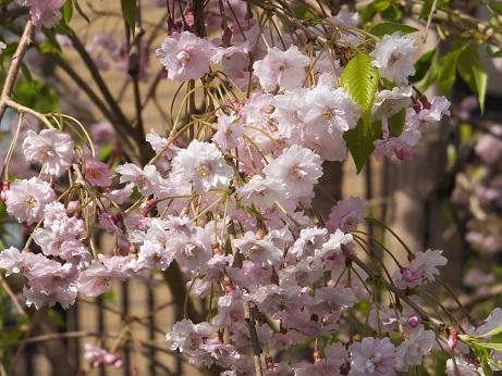 4桜アップ2