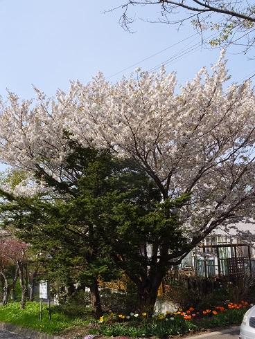5母恋の桜1