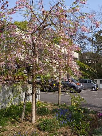 6枝垂れ桜