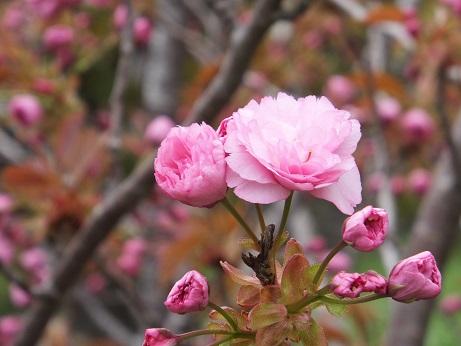 陣屋の桜3