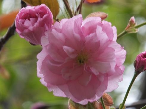 陣屋の桜6