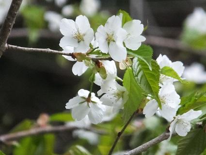 陣屋の桜7