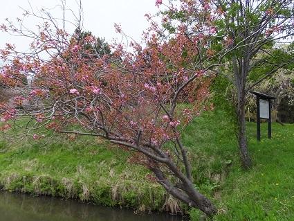 陣屋の桜4